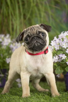 Pug puppy outdoors