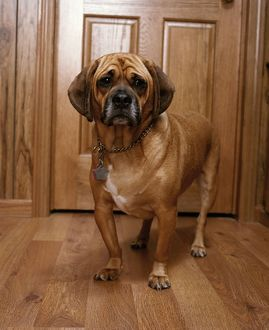 Puggle Dog - a crossbreed between a Beagle & a Pug