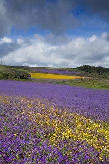 Purple Viper's Bugloss / Paterson's Curse - with Corn Marigolds (Chrysanthemum