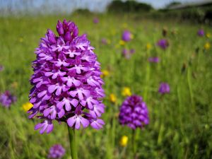 Pyramidal Orchid - growing on chalk downland