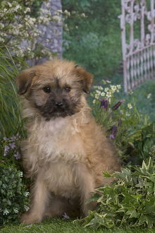Pyrenean Shepherd dog puppy outdoors