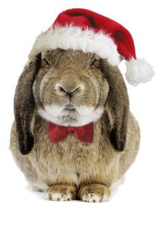 Rabbit Belier francais breed - wearing CHristmas hat & bow tie