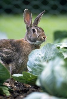 RABBIT - in cabbage patch, garden