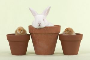RABBIT & CHICK - Mini Ivory Satin Rabbit sitting in flower pot with chicks on either side