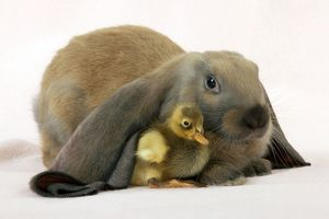 RABBIT - English lop sitting with duckling
