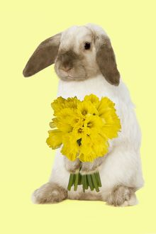 Rabbit - French Lop / Belier - with daffodils - Easter