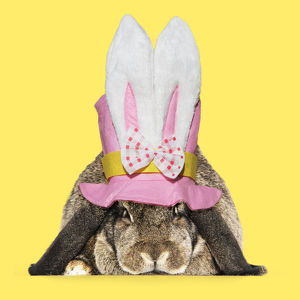 Rabbit. French lop wearing Easter hat with rabbit ears