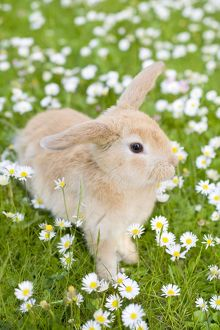 Rabbit - young on grass lawn amongst Daisies