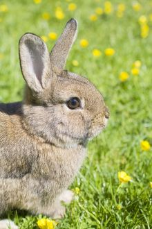 Rabbit - young - on lawn