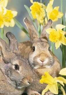 RABBITS - two in daffodils
