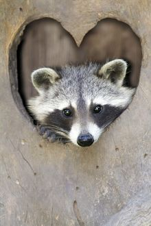 Raccoon peering out of heart shaped entrance to den