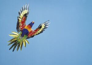RAINBOW LORIKEET - in flight