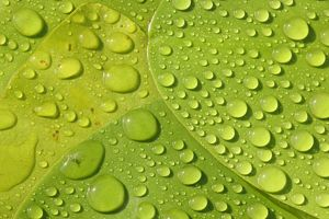 Raindrops on leaves of a water lily