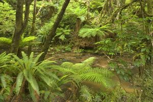 Rainforest - river flowing through lush temperate rainforest with different kinds of ferns