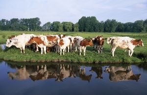 Red Belgian breed Cows - on river bank