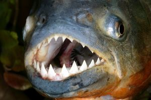 Red-bellied PIRANHA - close-up of head and teeth