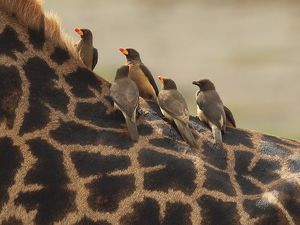 Red-billed Oxpeckers - sitting on Giraffe neck