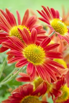 red chrysanthemum flowers and cottage apricot