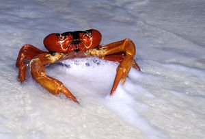 Red Crab (A land crab) - Male dipping to replenish water & salt