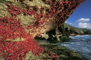 RED CRAB - Climbing cliff, after spawning