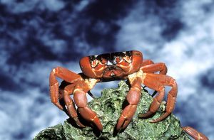 RED CRAB - female after spawning
