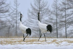 Red-crowned Crane / Japanese Crane / Manchurian