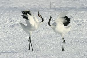 Red-crowned Crane - pair displaying