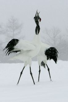 Red-crowned Crane - pair displaying, necks intertwined. In snow