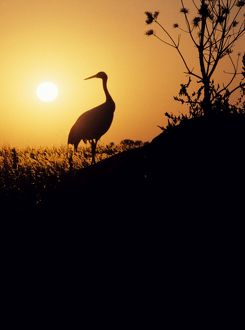 sunsets sunrises/red crowned japanese manchurian crane silhouette