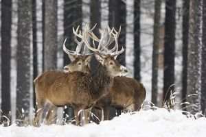 Red Deer - bucks in snow covered landscape