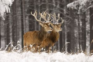 Red Deer - Two together in winter snow