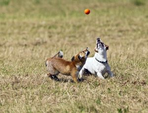 Red Fox - cub and Jack Russell playing with ball