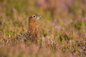 Red Grouse - amongst heather
