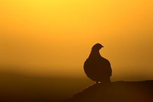 Red Grouse - on heather moor, overlooking its domain at sunrise. Silhouette