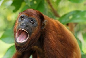 Red Howler Monkey - with mouth open (Alouatta seniculus)
