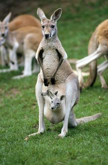 Red Kangaroo - female with a joey in her pouch