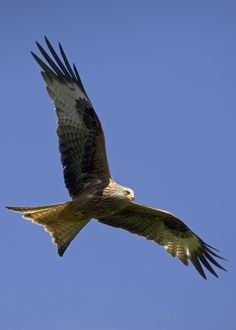 Red Kite in flight at RSPB site