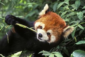 Red / Lesser PANDA / Red cat-bear - Eating bamboo shoot