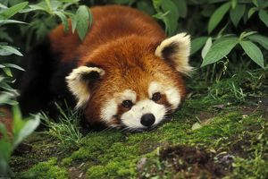Red / Lesser PANDA / Red cat-bear - Lying on moss