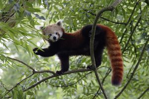 Red / Lesser PANDA / Red cat-bear - in tree