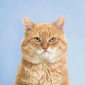 Red tabby cat with a grumpy expression