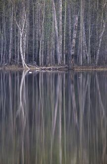 Reflections in a small lake in taiga forest at dusk. Golden-eye male duck swims on water