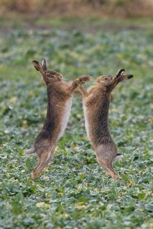 RES-1063-C Brown Hares - two boxing
