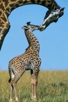 Reticulated Giraffe - adult with young