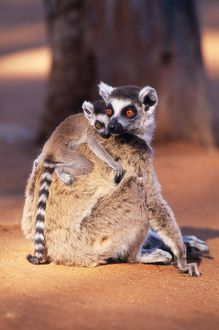 Ring-tailed LEMUR - with baby on back, on ground, endemic
