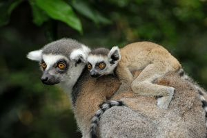 Ring-tailed Lemur - with baby on back (Lemur catta)