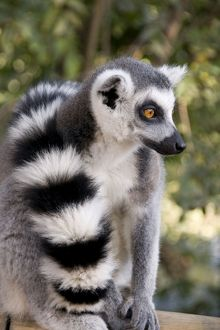 Ring-tailed Lemur - with tail wrapped around body