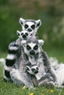 RING-TAILED LEMUR - With young