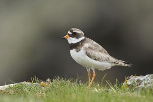 Ringed Plover - standing amongst grass on cliffs edge