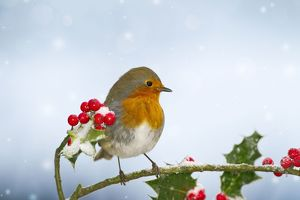 Robin - on Holly in snow